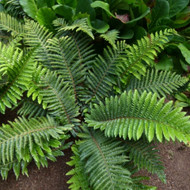 Tassel Fern Courtesy of Casa Flora
