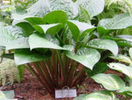 'Celtic Uplands' Hosta Courtesy of Don Dean