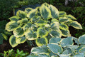 'Liberty' Hosta in Spring From NH Hostas