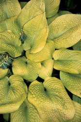 Rosedale Golden Goose Hosta - 4.5 Inch Container