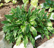 'Sugar Babe' Hosta From NH Hostas