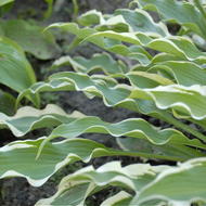 'Pineapple Punch' Hosta Courtesy of Walters Gardens