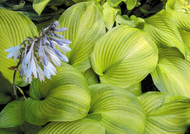'Tobacco Road' Hosta Courtesy of Olga Petryszyn