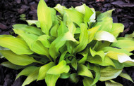 Pot of Gold Hosta - 4.5 Inch Container