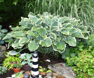 Sagae Hosta - Two Gallon