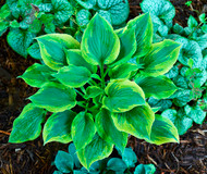 Flash Forward Hosta - 4.5 Inch Container