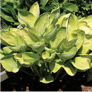 World Cup Hosta - 4.5 Inch Container