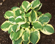 Carnival Hosta - 4.5 Inch Container
