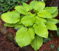 Jimmy Crack Corn Hosta - 4.5 Inch Container