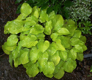 'Cheatin Heart' Hosta From NH Hostas