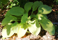Lakeside Butter Ball Hosta - 4.5 Inch Container