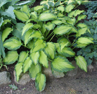 Emerald Ruff Cut Hosta - 4.5 Inch Container