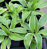 Piccadilly Snow Mound Hosta - 3 Inch Container