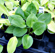 Pistachio Cream Hosta - 3 Inch Container