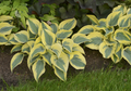Autumn Frost Hosta Courtesy of Walters Gardens