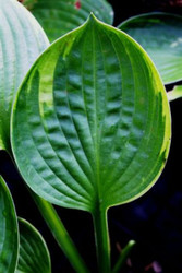 'Sugar Snap' Hosta Courtesy of Green Hill Farm
