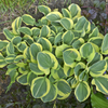 'Mighty Mouse' Hosta Courtesy of Walters Gardens