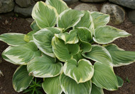 'Fragrant Dream' Hosta From NH Hostas