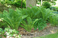 Ostrich Fern From NH Hostas