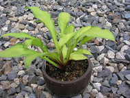 Peedee Gold Flash Hosta - 3 Inch Container