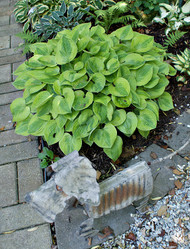 Radiant Edger Hosta - 4.5 Inch Container
