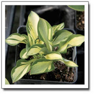'Itty Bitty' Hosta Courtesy of Q&Z Nursery