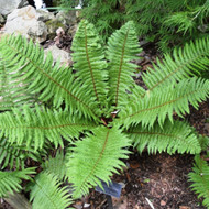 Thick Stemmed Wood Fern - 4.5 Inch Container