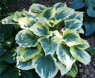 Liberty PP12531 Hosta - 4.5 Inch Container