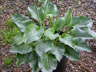 Blue Boy Hosta - 4.5 Inch Container