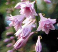 'Fujibotan' Hosta Flower
