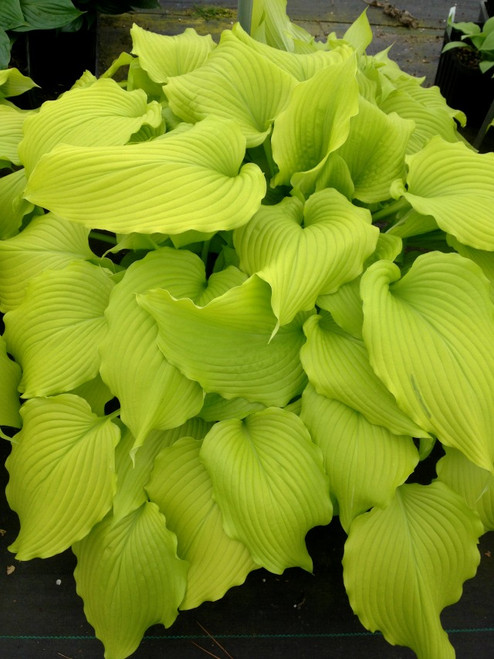 3 4 Plugs >> Dancing Queen Hosta - Shade Perennial Large Yellow Hosta Plant