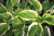 'Sugar and Spice' Hosta Courtesy of Q&Z Nursery