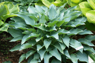 Yankee Blue Hosta - 4.5 Inch Container