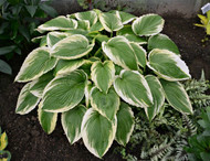 Bridal Falls Hosta Courtesy of Walters Gardens