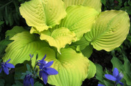Dawn's Early Light Hosta - 4.5 Inch Container