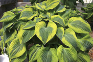 'Katie Q' Hosta Courtesy of Q&Z Nursery