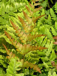 'Brilliance' Autumn Fern