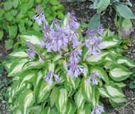 'Fantasy Island' Hosta Courtesy of Monrovia