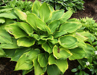 'Day's End' Hosta From NH Hostas