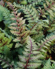 Regal Red Japanese Painted Fern - 4.5 Inch Container