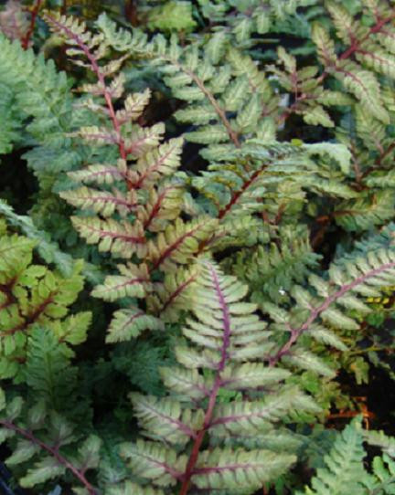 Fern Japanese Painted Regal Red