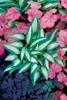 'Little Treasure' Hosta Courtesy of Walters Gardens