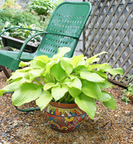 'The Shining' Hosta From NH Hostas