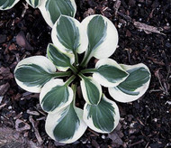 Frosted Mouse Ears Hosta - 3 Inch Container