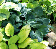 'Waukon Water' Hosta From NH Hostas