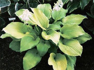 Blaze of Glory Hosta - 4.5 Inch Container