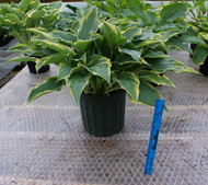 Alligator Shoes Hosta From NH Hostas