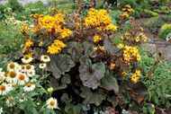 Ligularia 'Britt-Marie Crawford' Courtesy of Walters Gardens