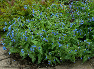 Pulmonaria saccharata 'Mrs Moon' - 65mm Starter Plug