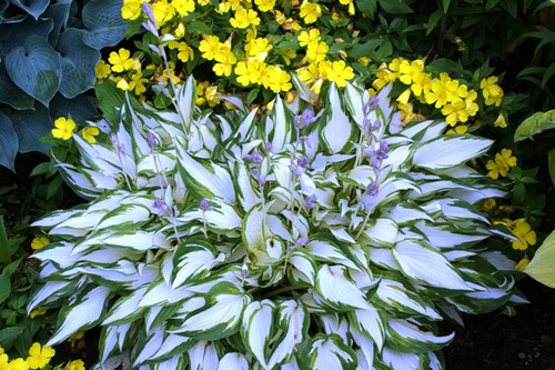 White christmas hosta shade perennial medium hosta plant white christmas hosta from nh hostas mightylinksfo